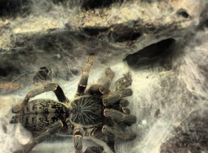 P. Chordatus adult nőstény