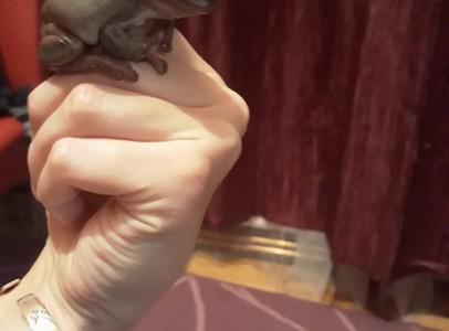 Litoria caerulea Ausztrál levelibéka