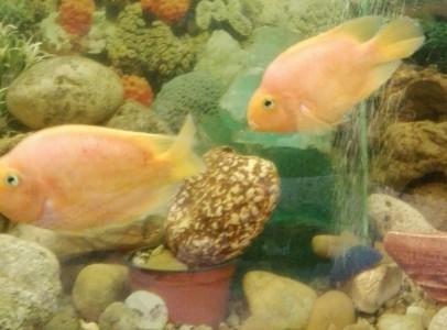 Sügér akvárium