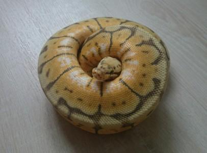 Killer bee ball python