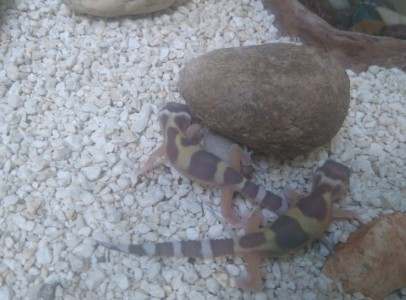 Fiatal és adult leopárd gekkók eladók!