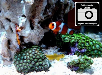Tengercsepp (Tengeri akvárium)