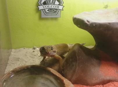 Leopárd gekkók terráriummal lámpával i.ár 40 000