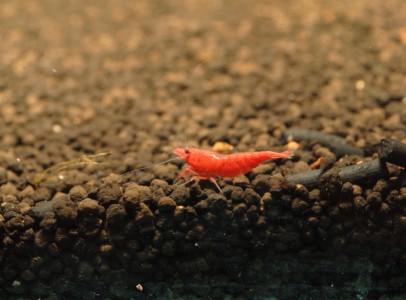 Shrimpland