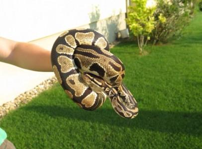Kígyó eladó helyhiány miatt!!!
