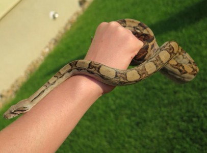 Kígyó eladó!