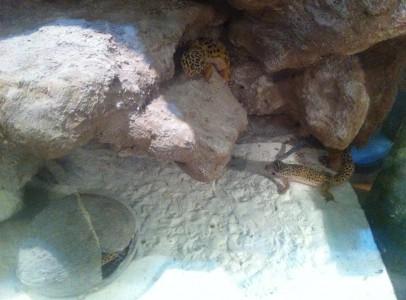 Leopárd gekko tenyészcsapat eladó!