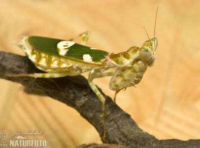 imádkozó sáska / mantis