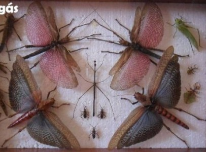 Óriás karéjos sáska - Tropidacris collaris
