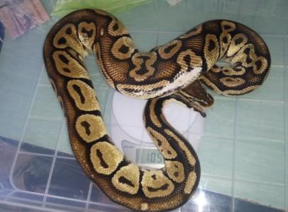 0.1 Python regius pastel
