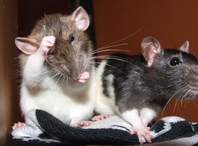 Felnőtt és süldő patkányok eladóak sürgősen