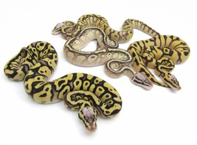 Királypiton Python regius (ball python) morphs