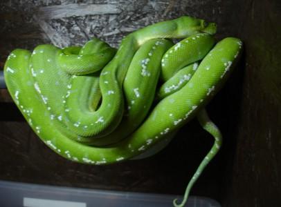 Morelia viridis (zöld fapiton) eladó