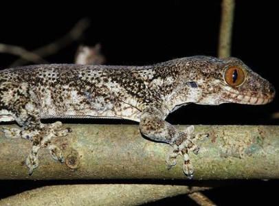 Madagaszkári óriásgekkó (Blaesodactylus Boivini)