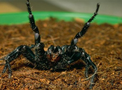 Atrax Robustus Spiders available