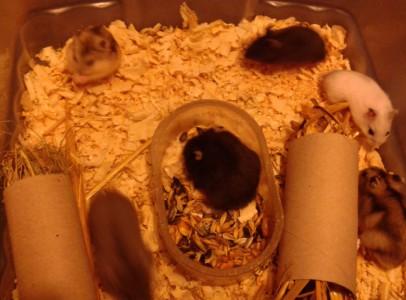 Dzsungáriai törpehörcsögök tenyésztőtől eladóak