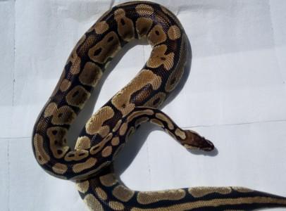 CB 2013 Python regius