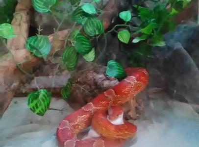 Vörös gabonasikló elcserélhető