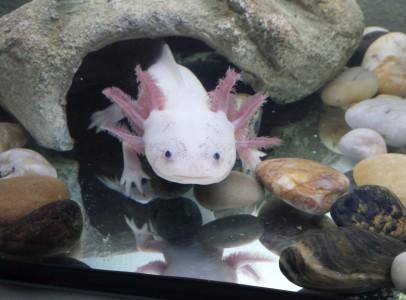 Mexikói axolotl