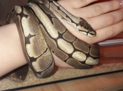 Párban eladó pythonok teljes felszereléssel.