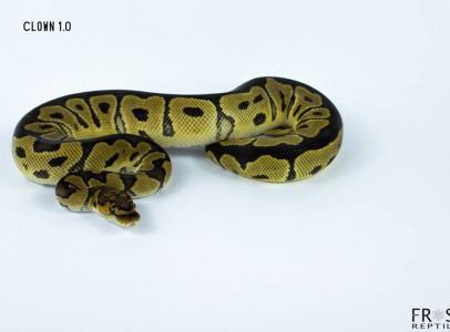 Python regius - Királypiton