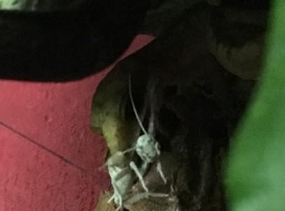 Aeluroscalabotes felinus