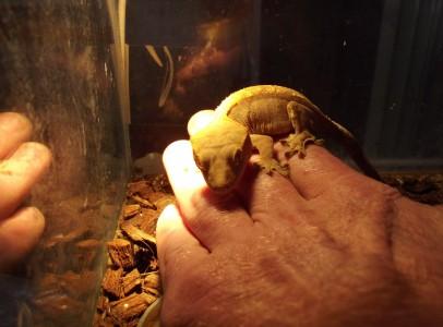 Vitorlás gekkók párban eladók