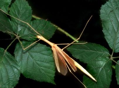 Sypiloidea sypilus