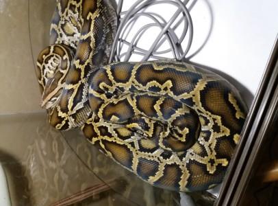 tigrispiton (burmese python)