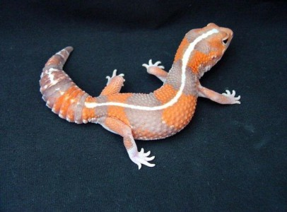 Zsírfarkú gekkó