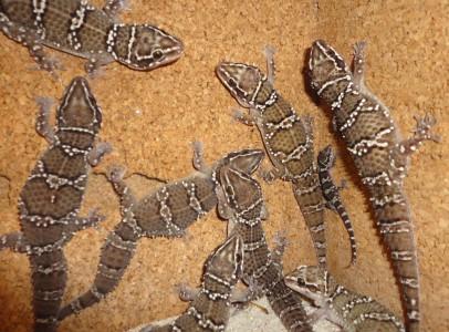 Ázsiai tigris gekkó / Hemidactylus triedrus
