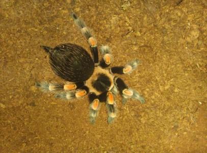 Brachypelma Smithi adult nőstény
