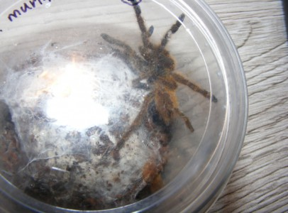 Eladó pókok