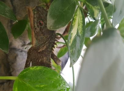 Acanthosaura capra