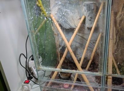 Madagaszkári nappali gekkó