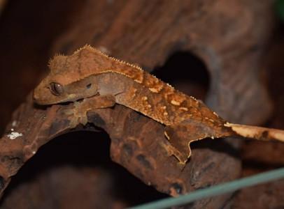 Vitorlásgekkó (correlophus ciliatus)