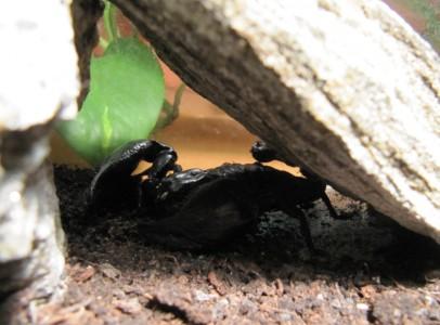 Eladó Heterometrus petersii Skorpió
