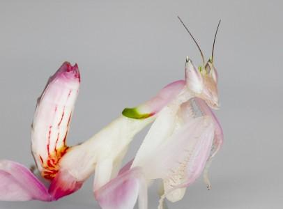 Eladó imádkozó sáskák/ mantisok: