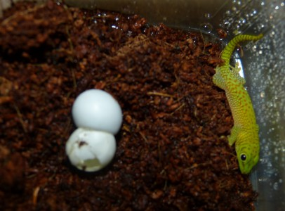 Koch nappali gekkó