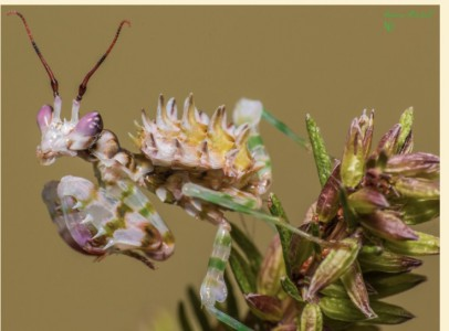 Pseudocreobotra Wahlbergii(Spiny flowers)