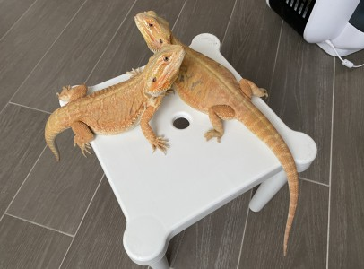 Bearded dragons for sale with equipments.