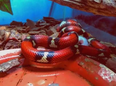 Eladó vörös királysikló