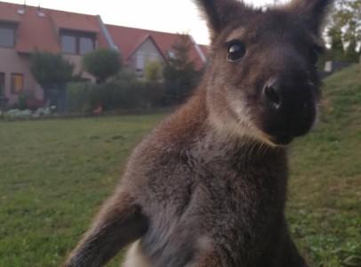 Bennett kenguru!