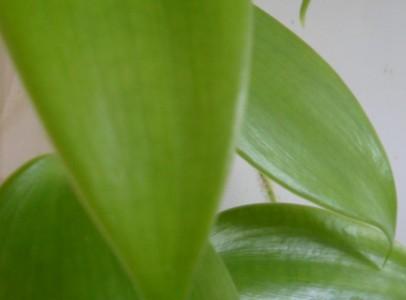 Vanílianövény, Vanília, -Vanilia planifolia