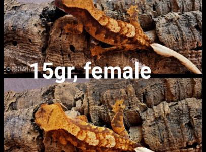 Vitorlás gekkók (nőstények)