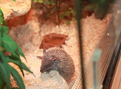 Madagaszkári kis süntanrek