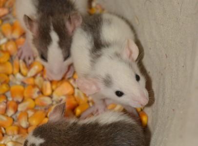 Roan (husky) patkányok eladók, cserélhetők