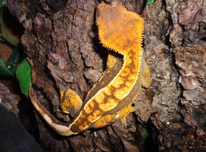 Vitorlás gekkó  / C. cilliatus