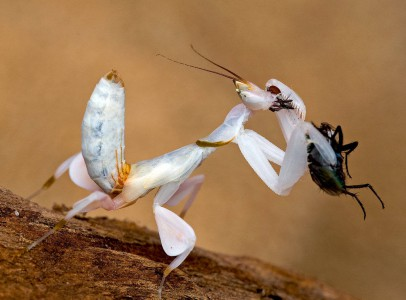 Hymenopus coronatus adult hímet keresek