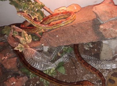 Vörös gabonasikló pár (Pantherophis guttatus)